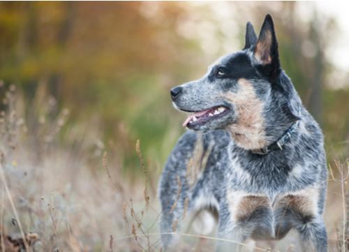 healthiest dog breeds Australian cattle dog