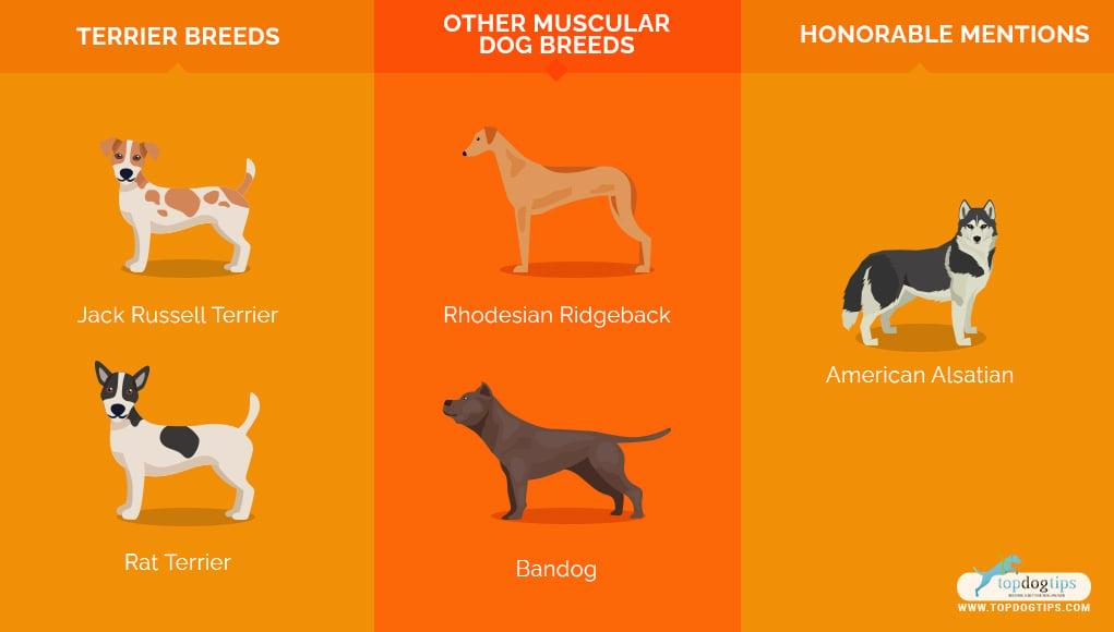 Most Muscular Dog Breeds