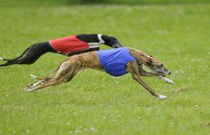 Racing Dog Breeds