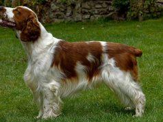 Spaniel Dog Breeds