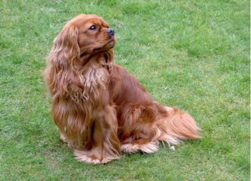 English Toy Spaniel dog breeds