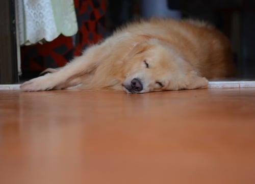 golden retriever dog breeds prone to seizures