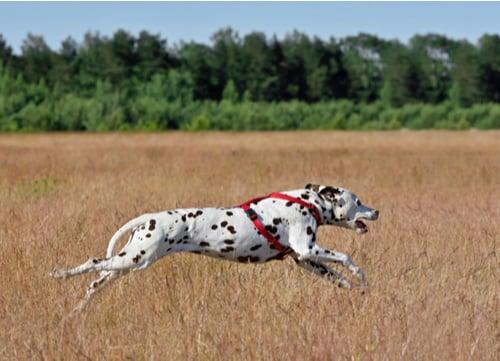 Racing Dogs Dalmatian