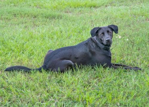 black Labrador retriever dog breeds prone to seizures
