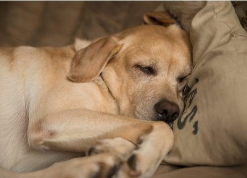 mellow dog breeds Labrador retriever