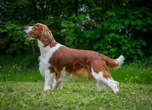 Welsh Springer Spaniel dog breeds