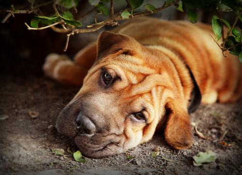 mellow dog breeds Shar-Pei