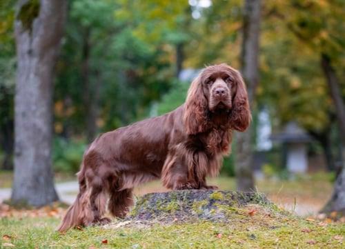 Sussex Spaniel dog breeds