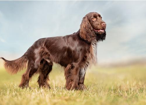 Field Spaniel dog breeds