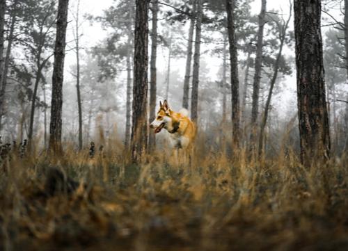 Norwegian dog breeds Lundehund