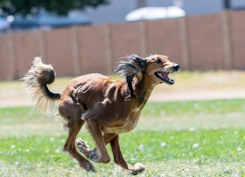 Racing Dogs Saluki
