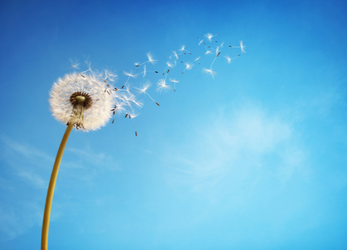 herbal remedies for dogs Dandelion