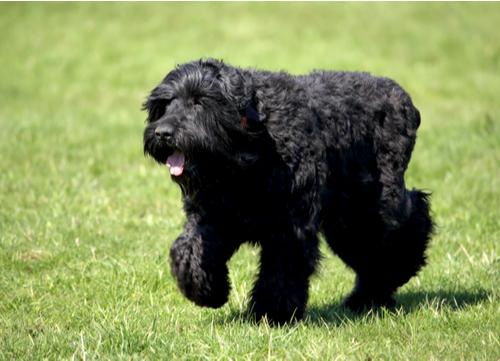Russian dog breed Black Russian Terrier