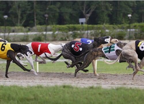 Racing Dogs Greyhound