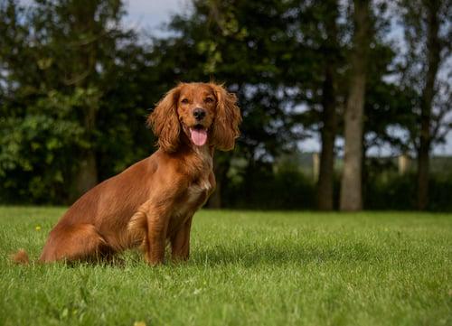 Cocker spaniel dog breed