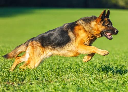 Racing Dogs German Shepherd