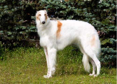Russian dog breed Borzoi