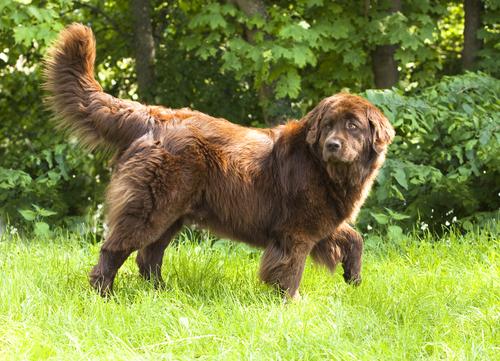 Most affectionate dog breed Newfoundland