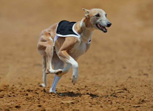 Racing Dogs Whippet