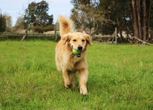 Most affectionate dog breed golden retriever