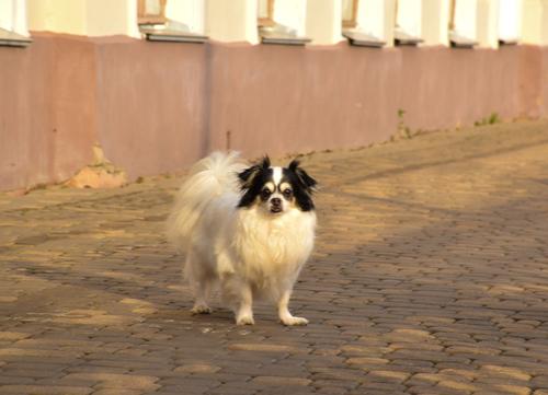 Papillion spaniel dog breeds