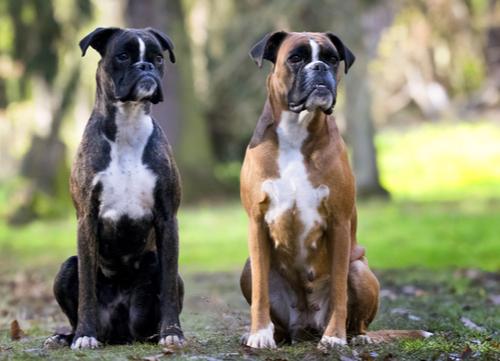 Most affectionate dog breeds boxer