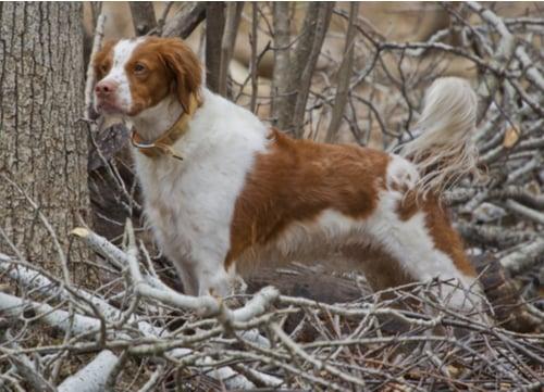 Spaniel dog breeds brittany