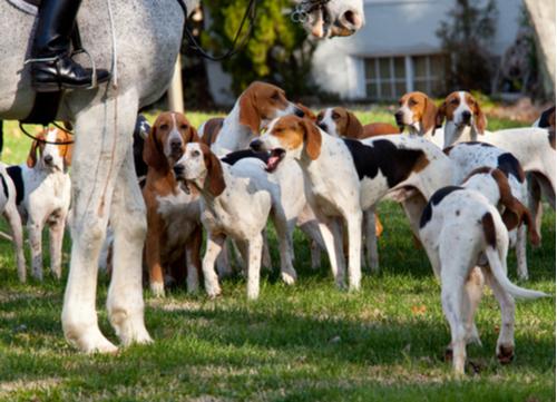 Hunting Hound Dog American Foxhound