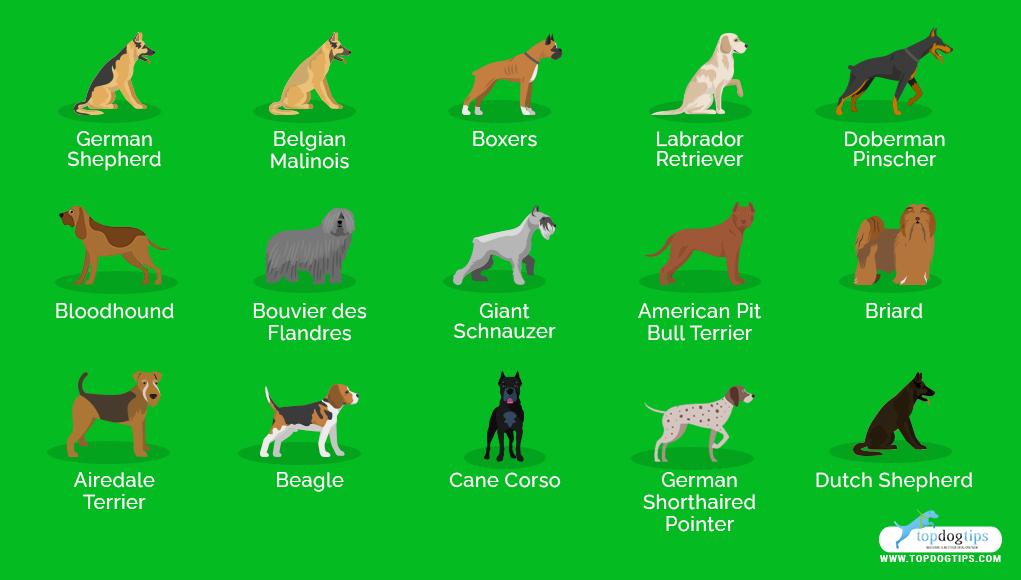 Most Popular Police Dog Breeds