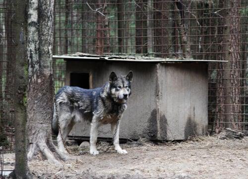 dog bites Hybrid Wolfdog