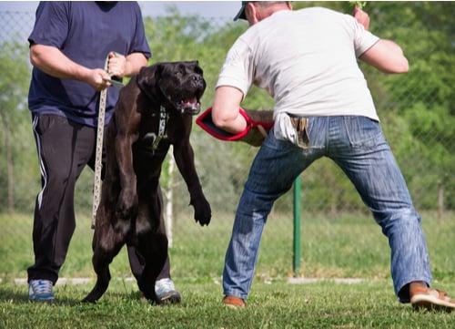 US dog bite statistics cane corso