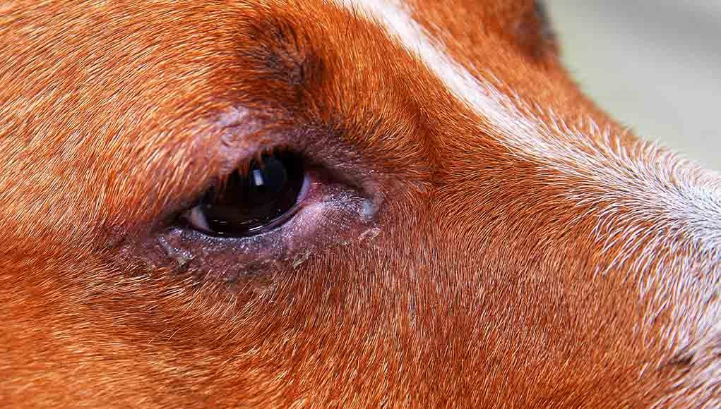 natural remedies for pink eye dogs