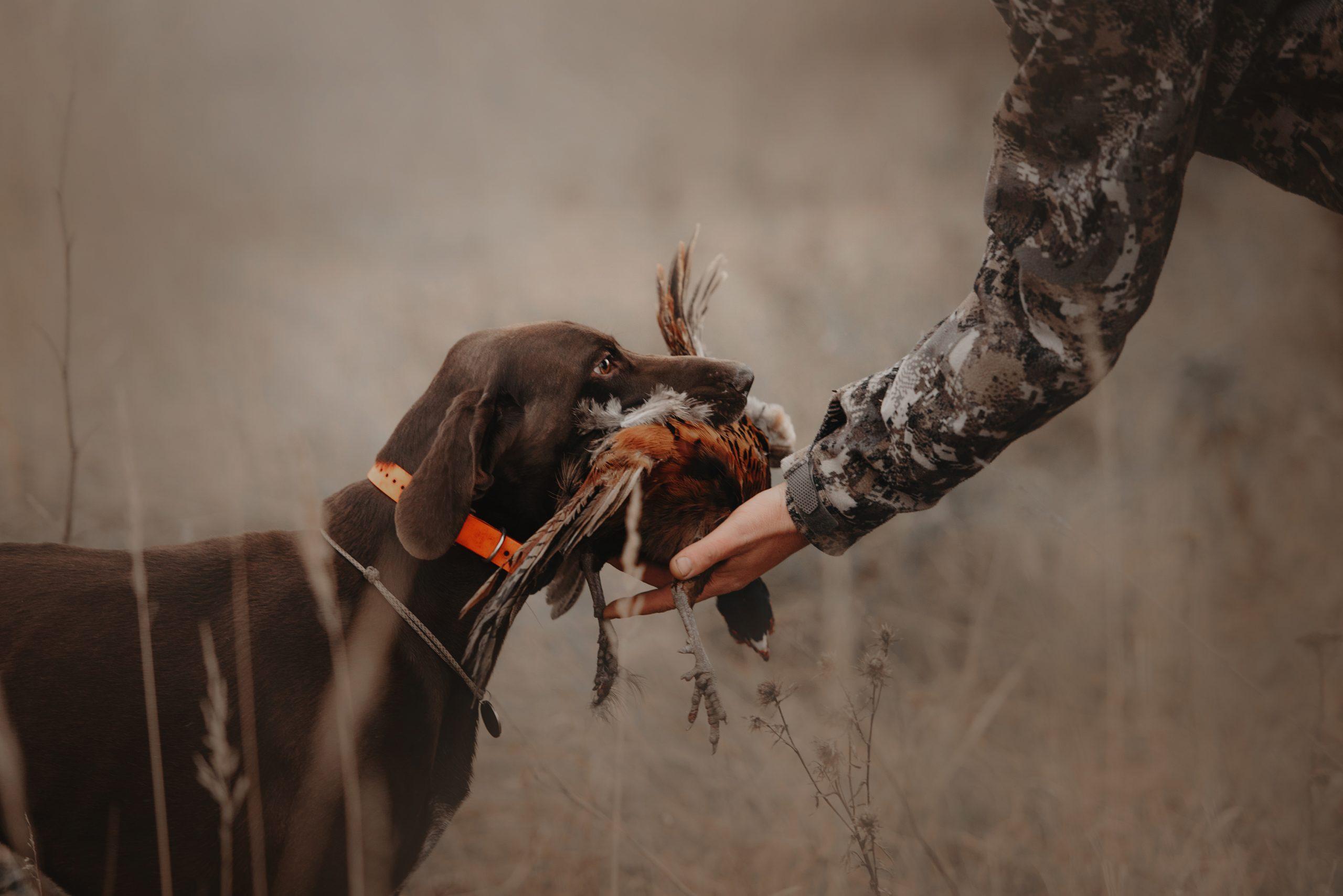 hunting dog brings bird adopting a dog