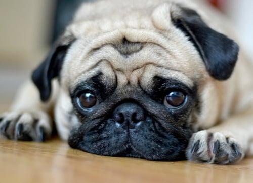 wrinkly dog breeds pug