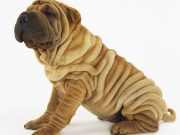 wrinkly dog breeds