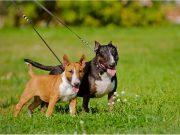 double dog leash
