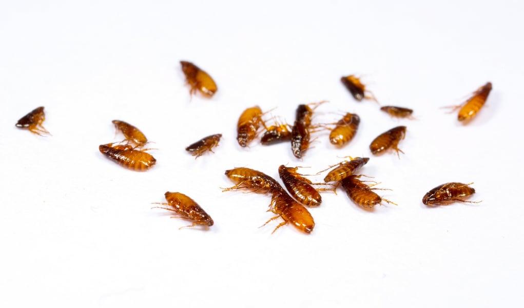 homemade flea trap