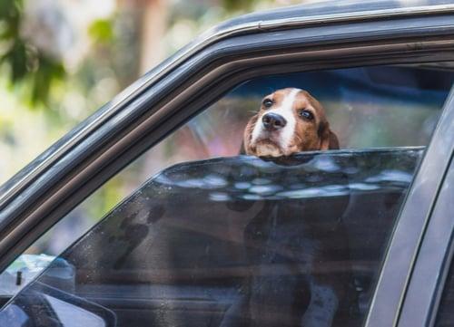 dog inside hot car
