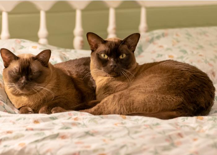 Burmese cat breed for apartment living