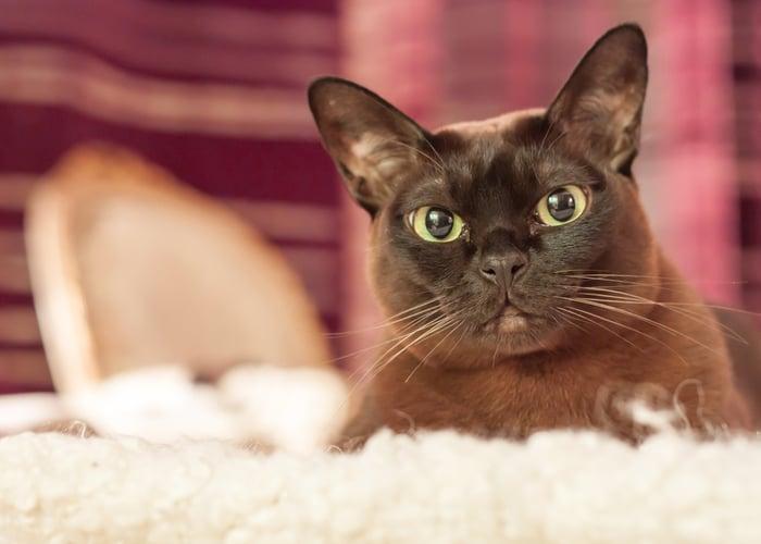 Burmese Cat Name Ideas