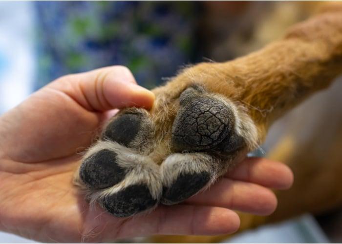 Cracks in dog paws