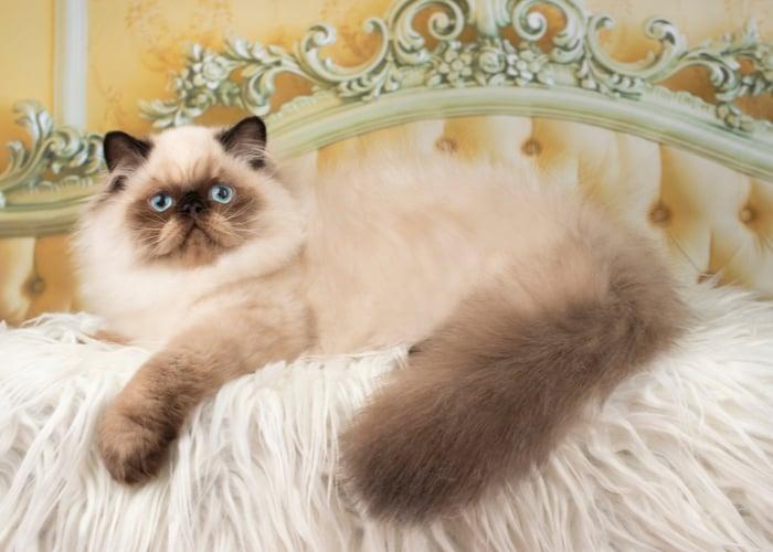 Popular Cat Breeds Persian Cat