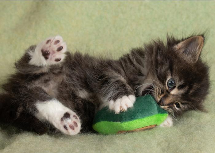 Kitten's Development