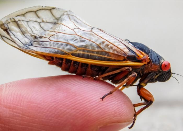 Dogs Eat Cicadas