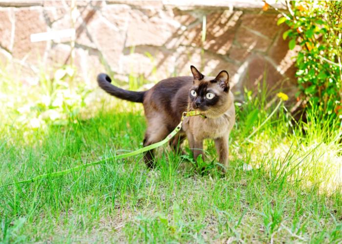 Burmese Cat Breed Lifespan