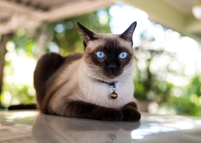 Siamese Cat popular cat breeds