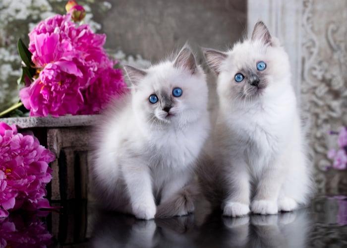 popular cat breeds Ragdoll Cat