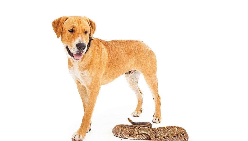 snake avoidance training