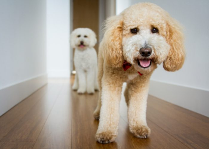 No two Goldendoodles look alike.