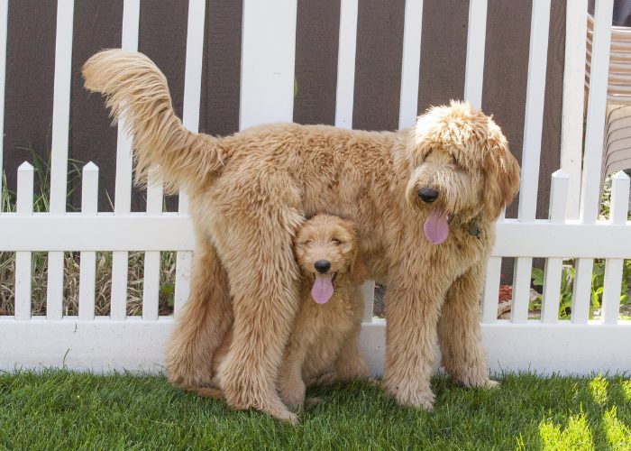 Goldendoodles have different sizes.
